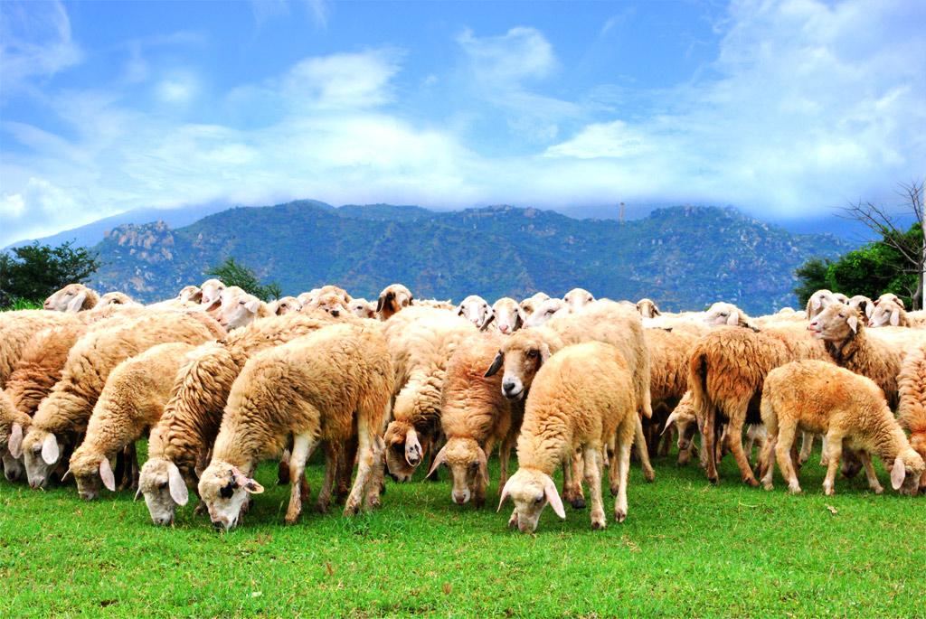 đàn cừu hiến tặng tại D.S Block